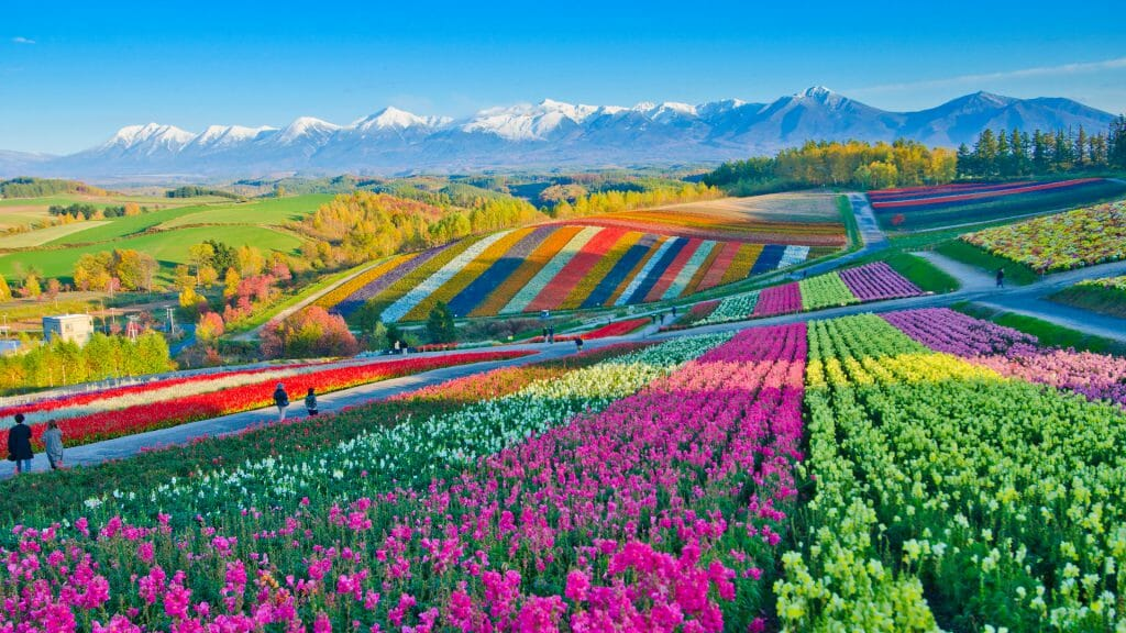 Fileds with lines of different brighly coloured flowers and snow capped mountains in distance.