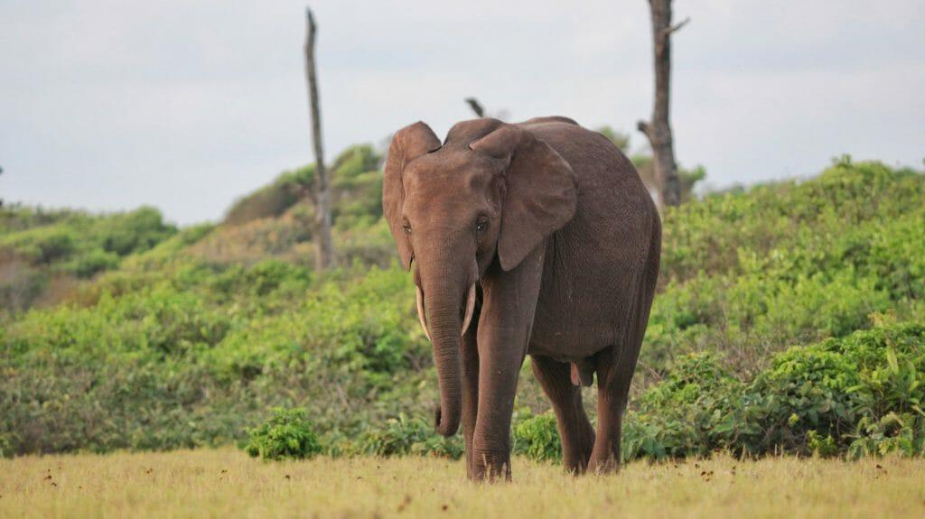 Forest elephant, Loango National Park, Gabon