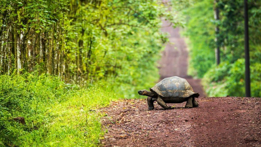 Galapagos Giant Tortoise, Galapagos Islands