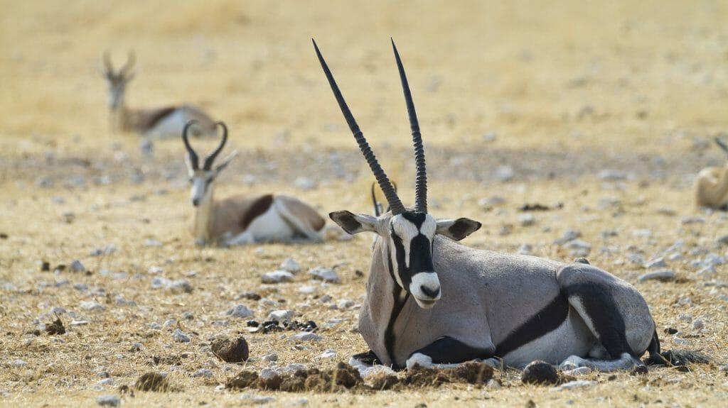 gemsboka nd springbok,Etosha National Park, Namibia