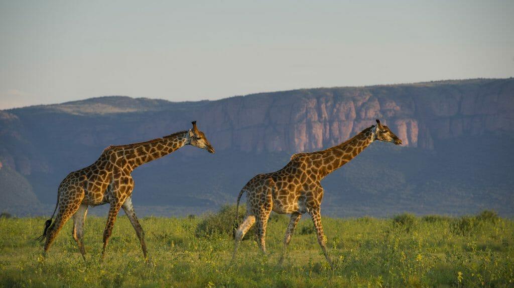 Giraffes in front of ridge, Marataba Game Lodge, The Waterberg