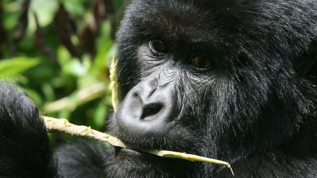 Gorilla cleaning his teeth, Bwindi Impenetrable National Park, Uganda