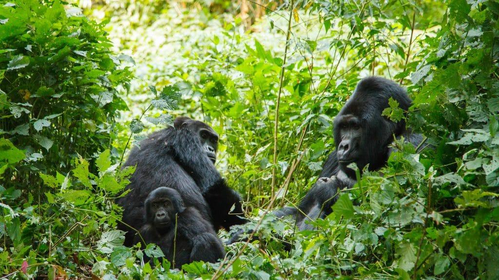 Gorilla family in wild, Bwindi Impenetrable National Park, Uganda