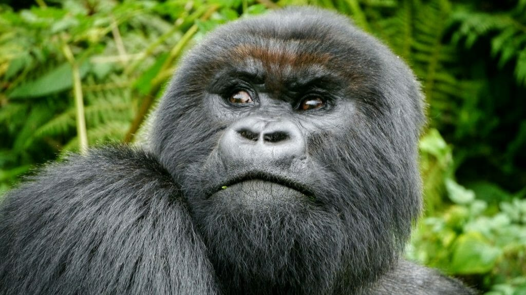 Gorilla looking back, Volcanoes National Park, Rwanda