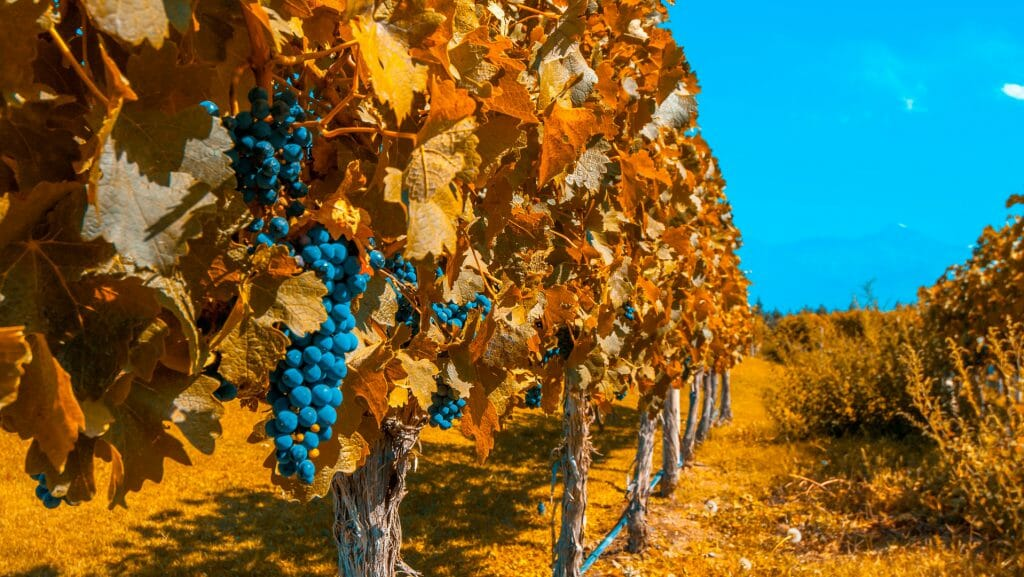 Grapes and Vines, Mendoza, Argentina