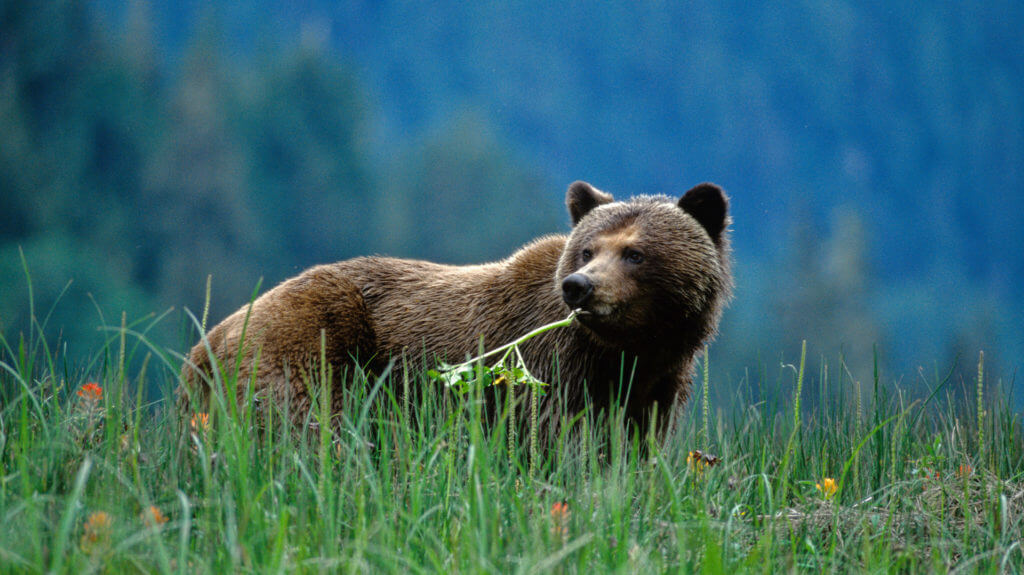Great Bear Lodge, Grizzly Eating a Flower, Great Bear Rainforest, Canada