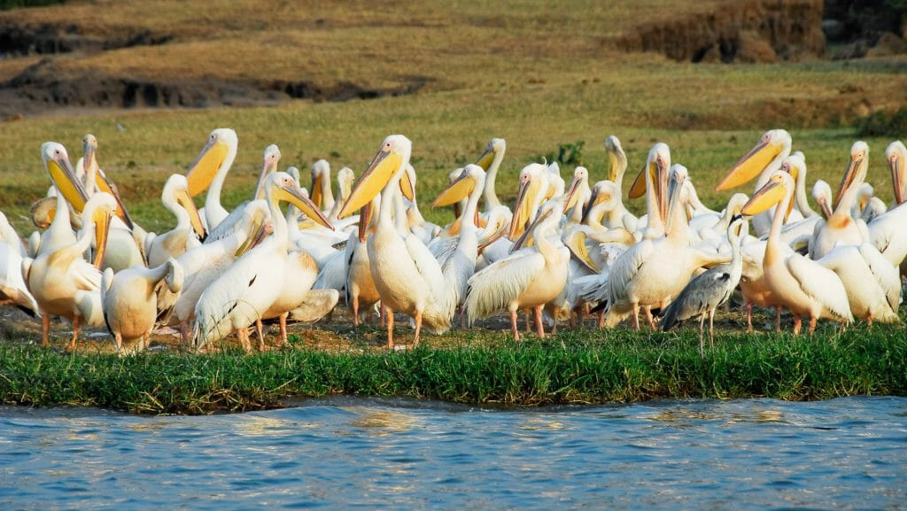 Great White Pelicans, Kazinga Channel, Uganda