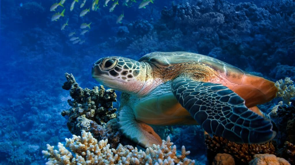 Green Sea Turtle, Oman