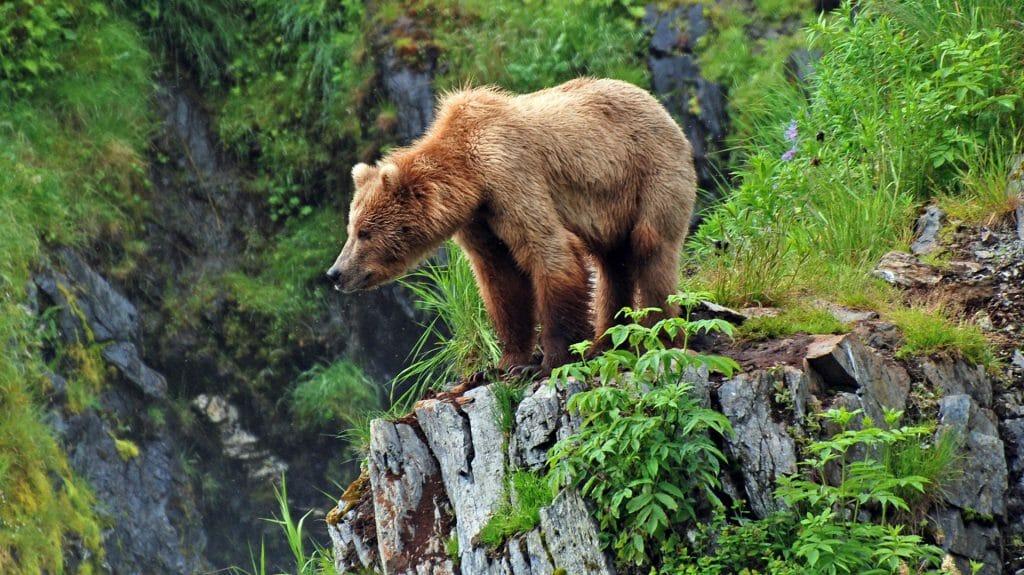 Grizzly Bear, Kodiak Island, Alaska
