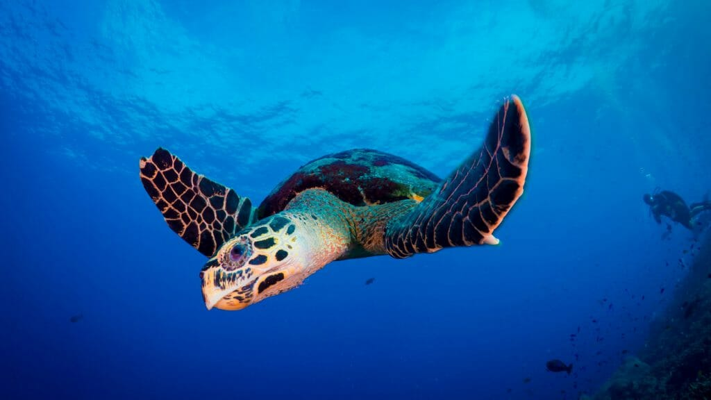 Underwater shot, bright blue water with turtle swimming.