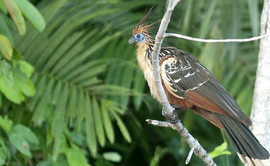 Hoatzin TRC, Peru Amazon