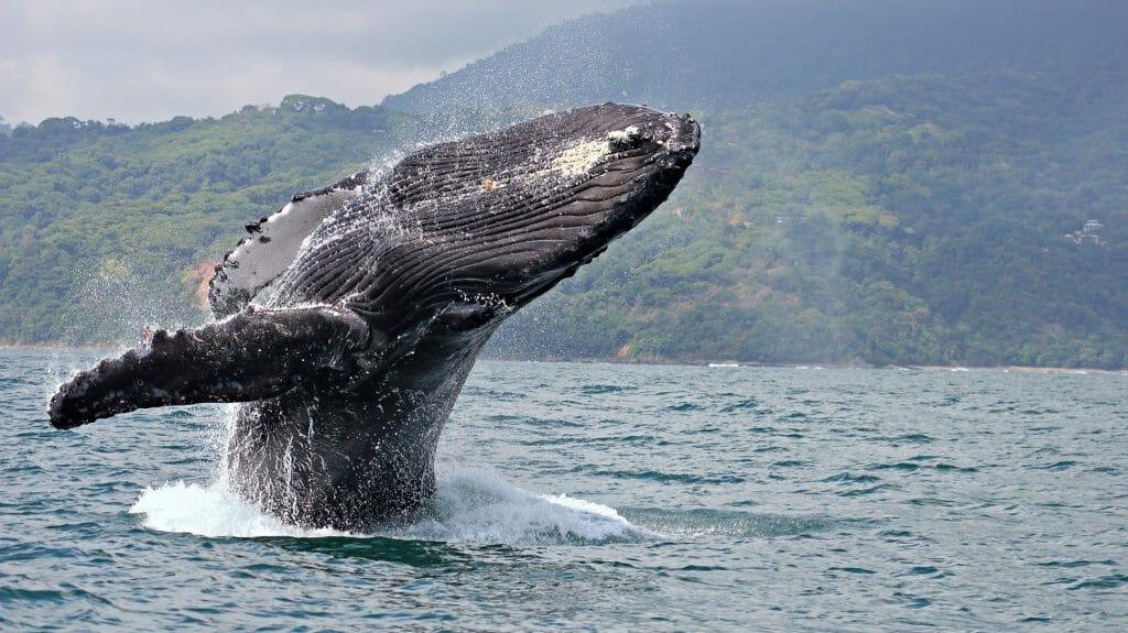 Humpback Whale, Marino Ballena National Park, Costa Rica