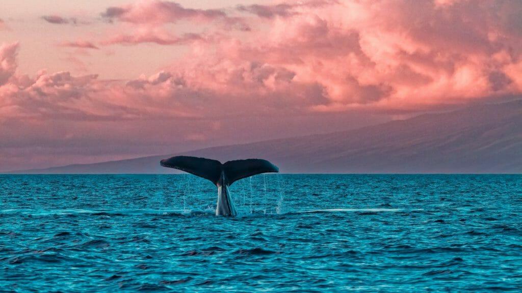 Humpback Whale, Maui, Hawaii, USA