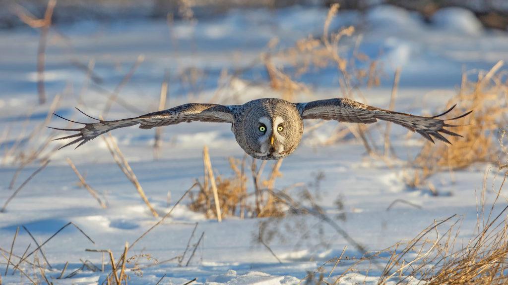 Inner Mongolia Great Gray Owl