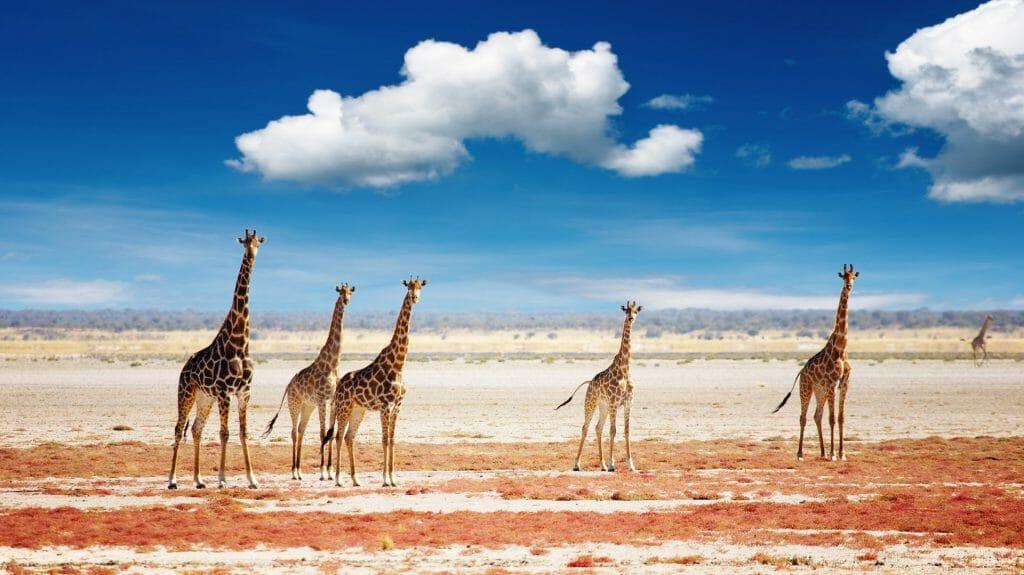Journey of giraffes, Etosha National Park, Namibia