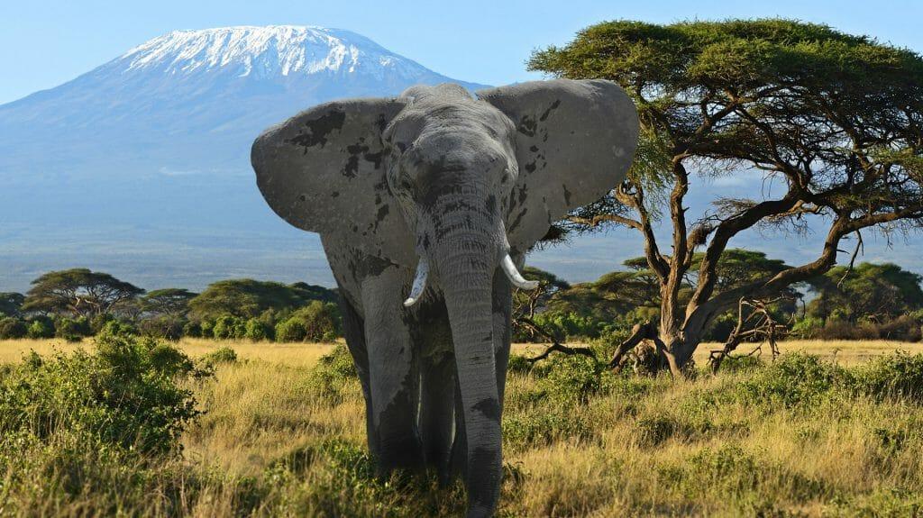 Kilimanjaro elephants in Amboseli National Park, Kenya