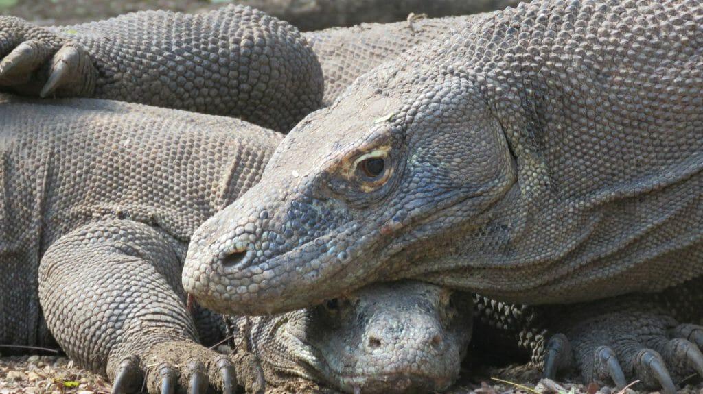 Komodo Dragons, Indonesia, Sea Trek Cruises