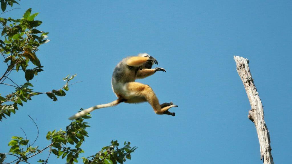 Leaping sifaka, Andasibe, Madagascar
