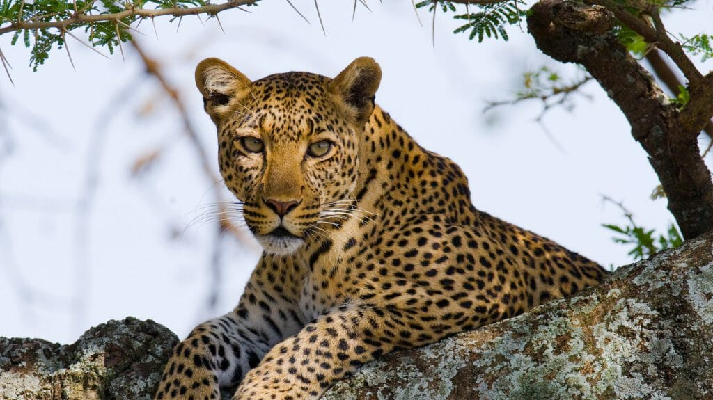 Leopard on the tree, Serengeti National Park, Tanzania