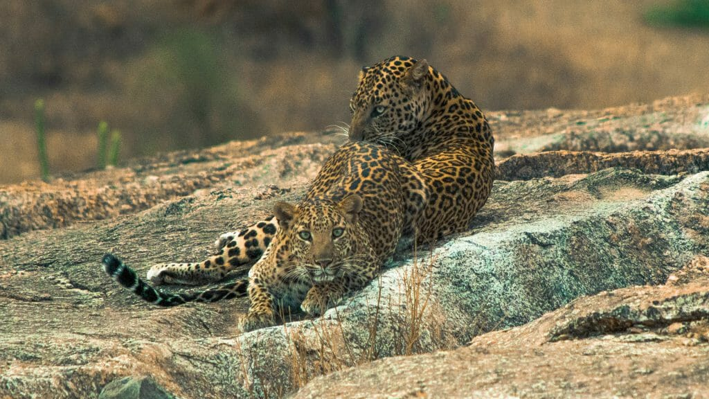 Leopards of Jawai, Rajasthan, India