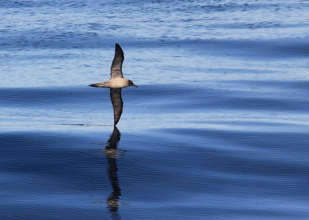 Lightmantled Sooty Albatross, Drake Passage