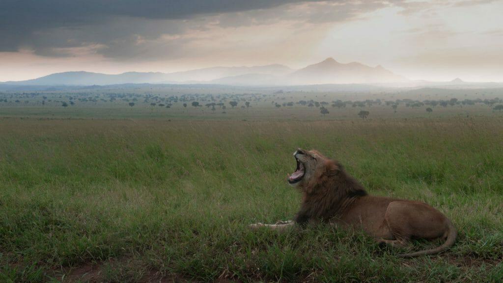 Lion,Kidepo, Uganda