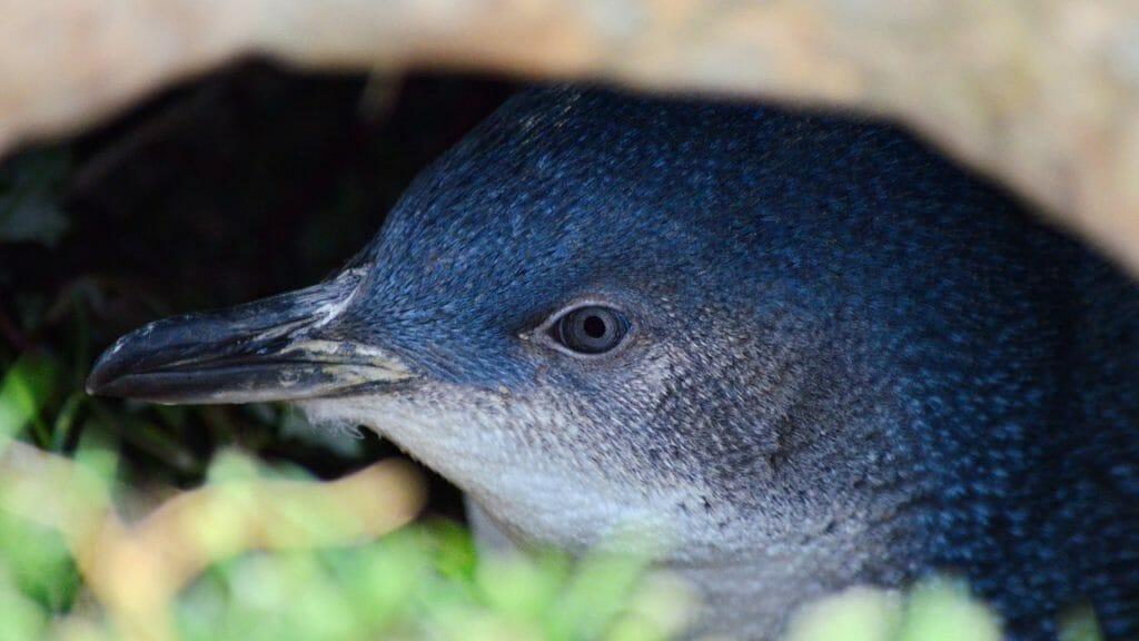 Little Blue Penguin, Dunedin, New Zealand