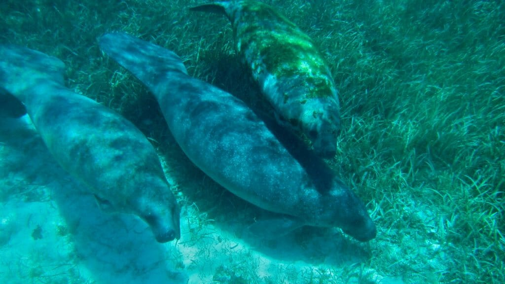 Manatees in Belize