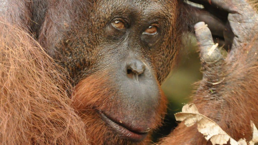 Orangutan, Danum Valley, Borneo