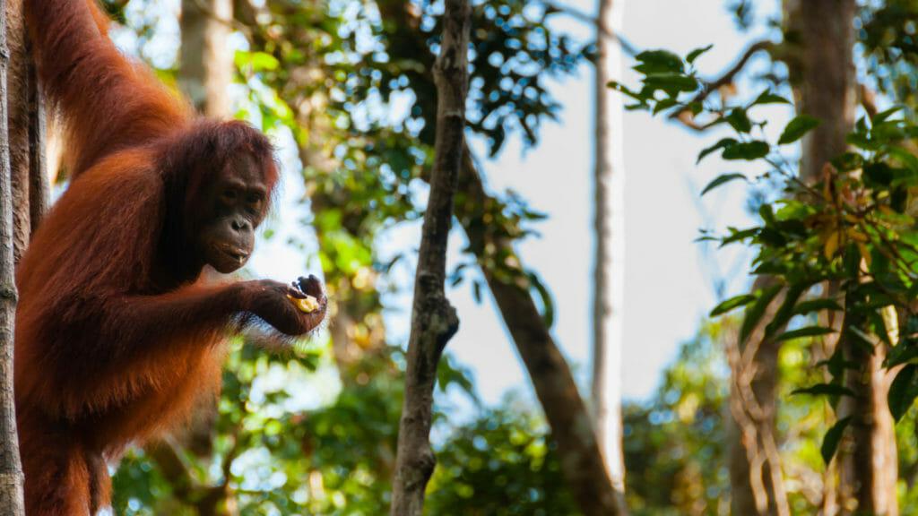 Orangutan, Tajung Puting National Park, Kalimantan Island, Borneo, Indonesia
