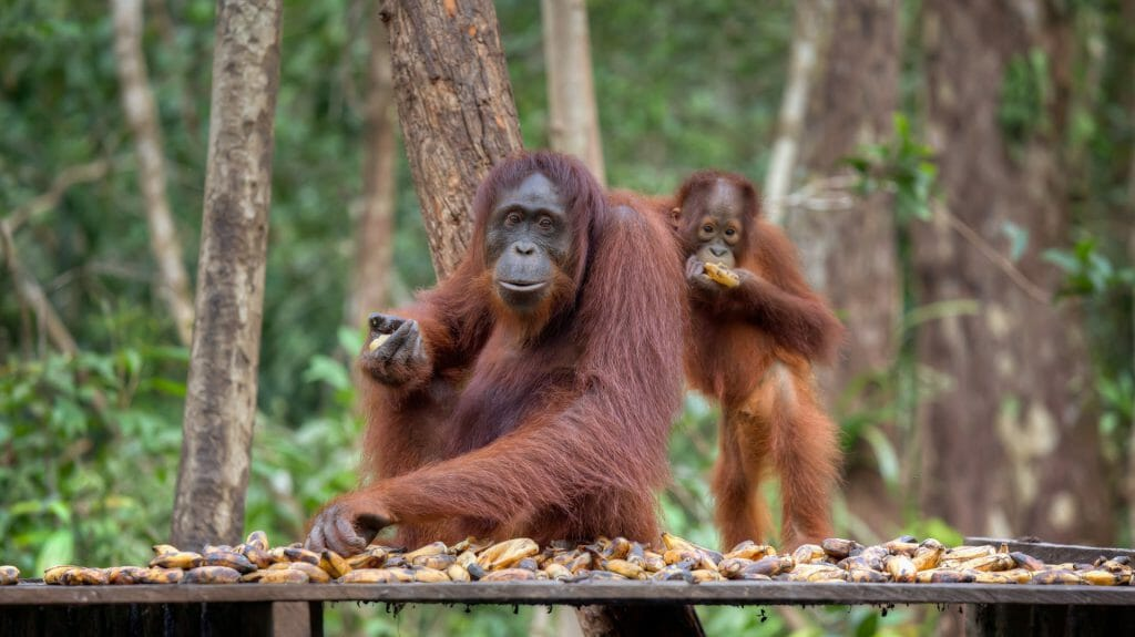 Orangutans at Sepilok Rehabilitation Centre, Borneo