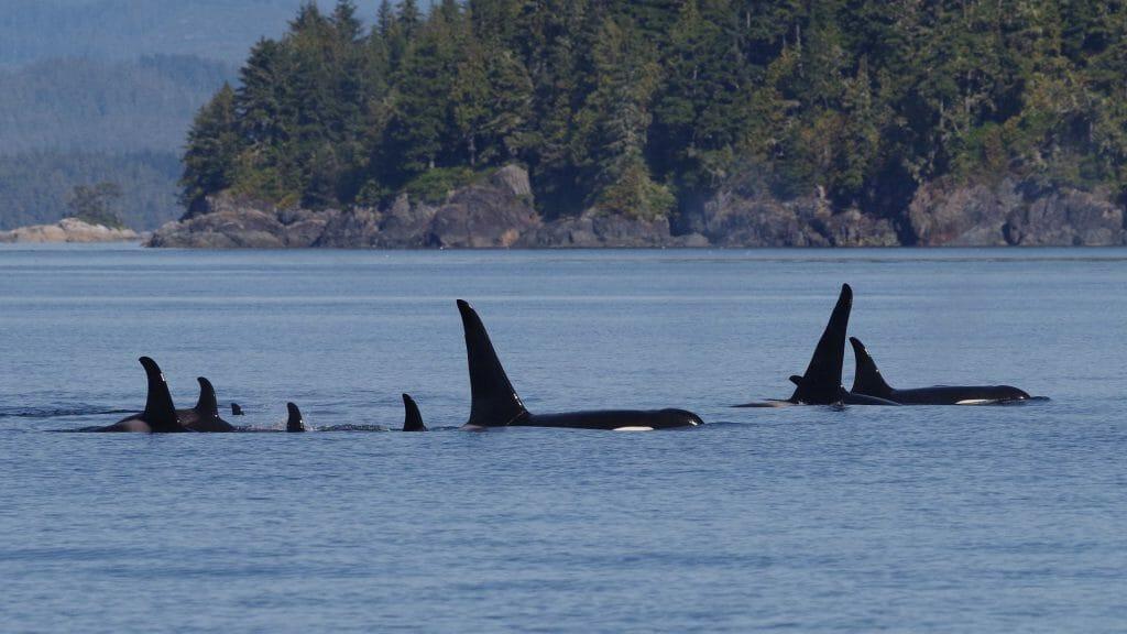 Orca dorsal fins, British Columbia, Canada