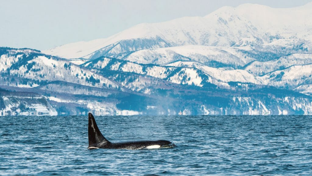 Orca in Galcier Bay, Alaska, USA