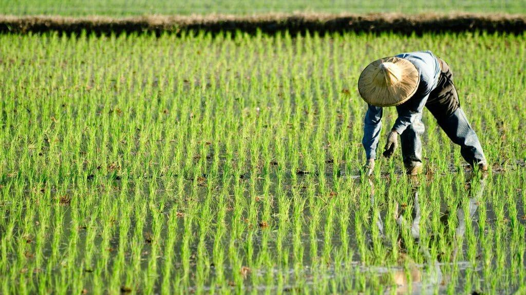 Paddy Farmer, Vietnam