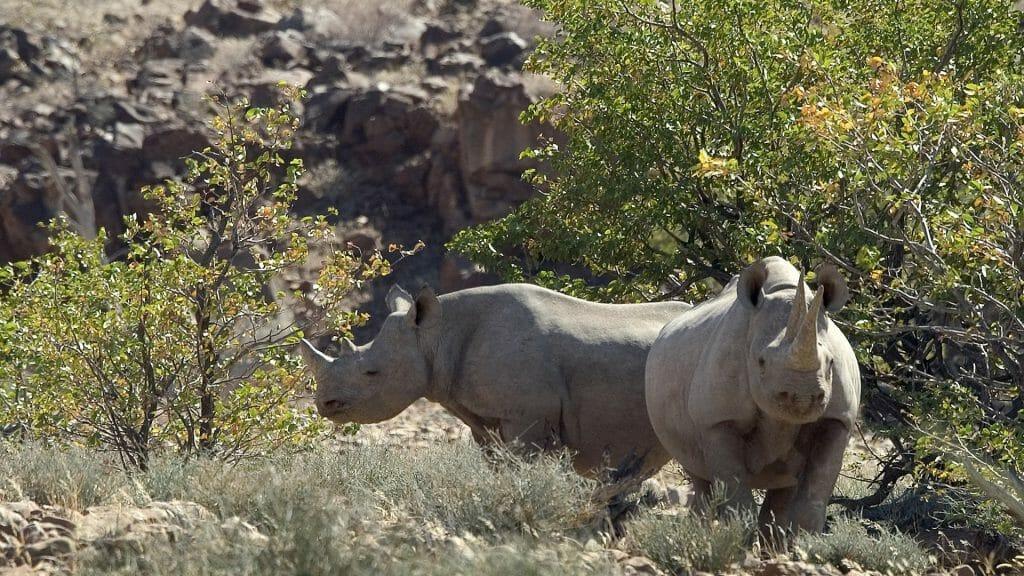 Pair of rhinos, Palmwag Reserve, Namibia