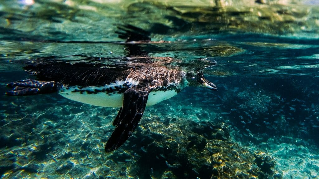 Snorkelling with Penguin, Galapagos Islands