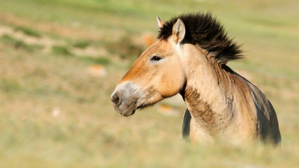 Close up of bay coloured przewalski horse with black mane.