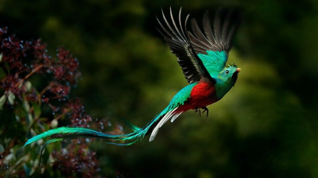 Resplendent Quetzal in flight