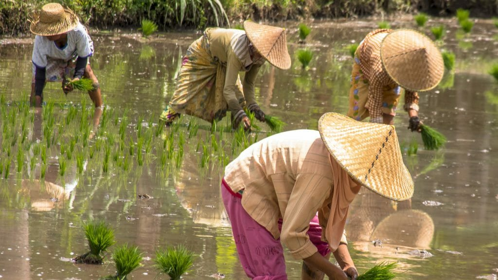 Four local people wearing traditional hats, bending over harvesting rice in water field paddy fields.