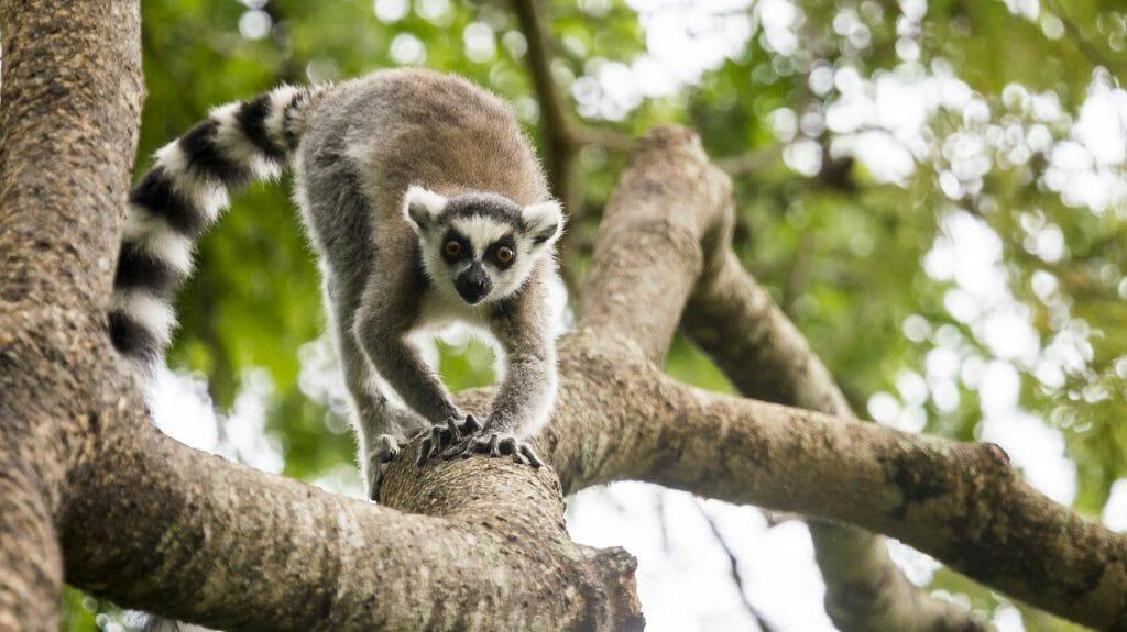 RIng tailed lemur walking down branch, Berenty, Madagascar