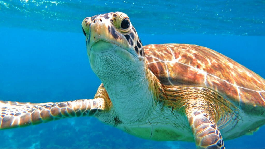 Close up of sea turtle looking directly at camera.