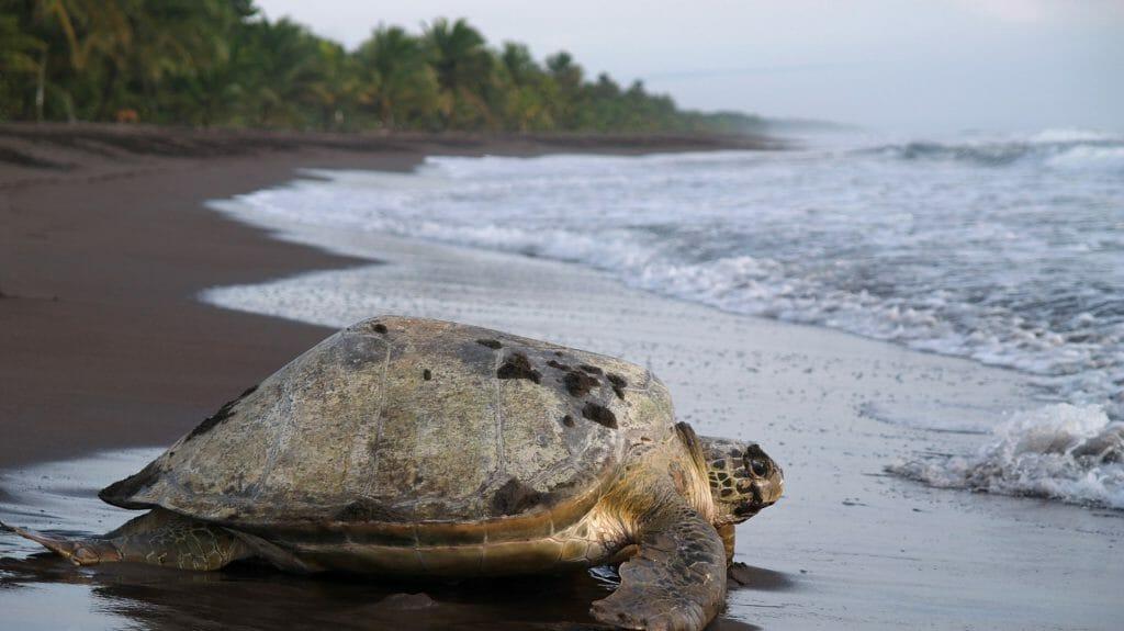 Sea Turtle, Tortuguero National Park, Costa Rica