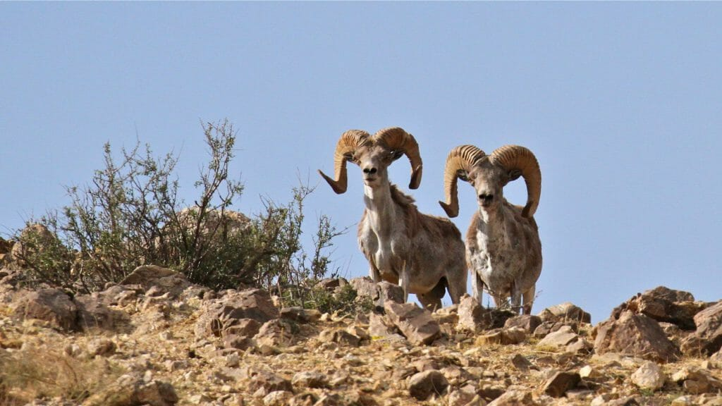 Two Siberian Ibex on the crest of a hillside in Ikh Nart in Mongolia.