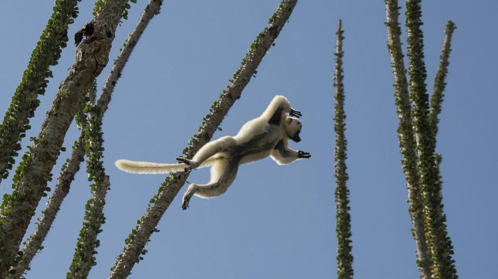 Sifaka in flight, Berenty, Madagascar
