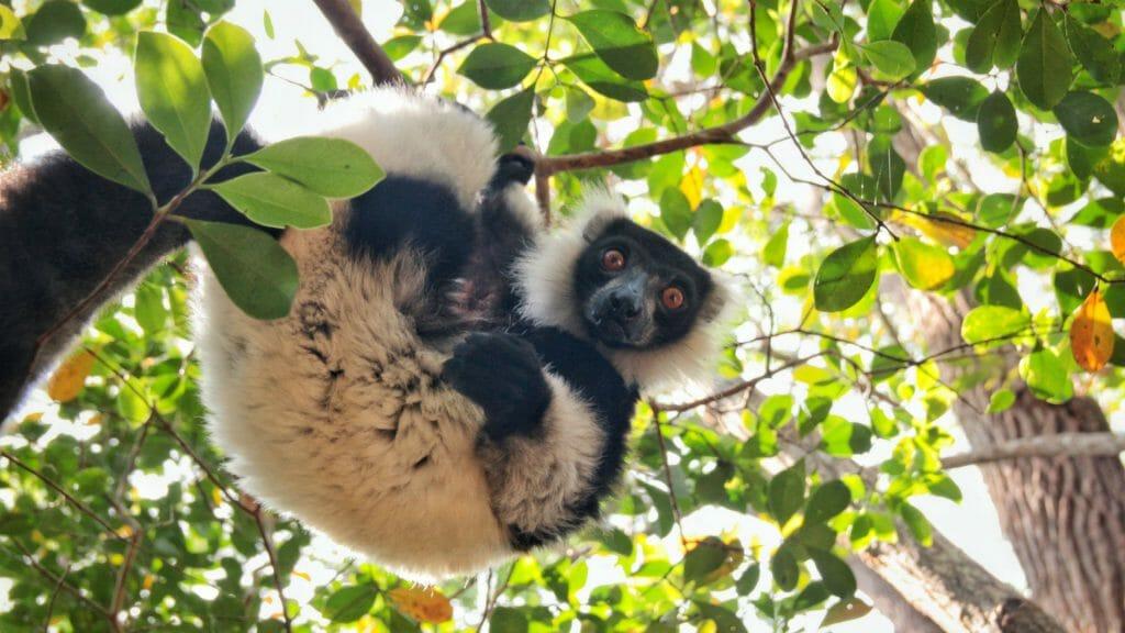 Sifaka on Lemur Island, Andasibe, Madagascar