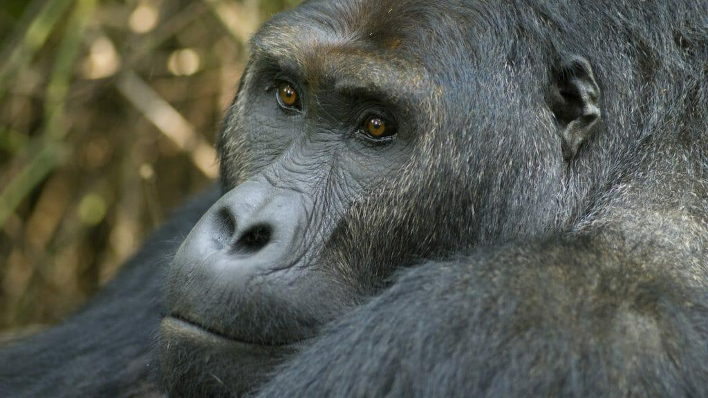 Silverback eastern lowland (Grauer's) gorilla, Democratic Republic of the Congo