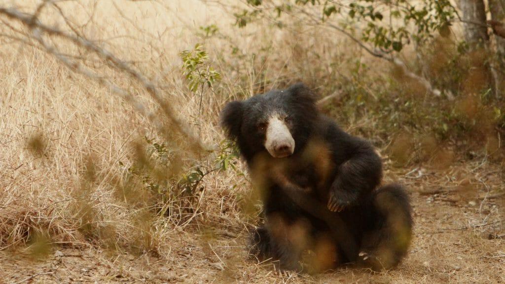sloth bear, Yala National Park, Sri Lanka