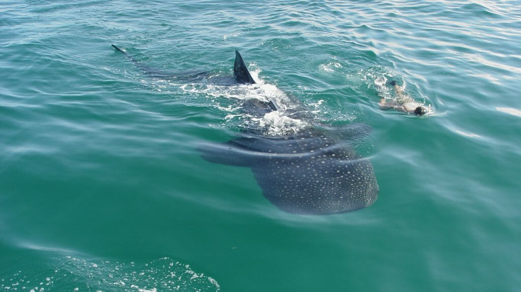 Snorkelling with a Whale Shark, Isla Holbox, Quintana Roo, Mexico