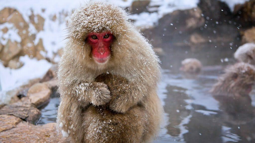 Snow monkey, Japan