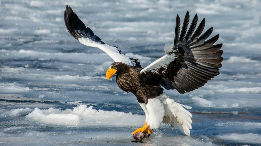 Steller's sea eagle in flight with prey on a background of the frozen sea, Shiretoko Peninsula. Shiretoko National Park, Japan, Hakkaydo